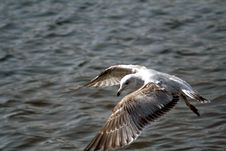 Free Seagull Soaring Royalty Free Stock Photography - 1155987