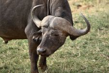 Free African Buffalo Royalty Free Stock Photo - 1156125