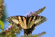 Free Swallowtail Butterfly Royalty Free Stock Photos - 1156268