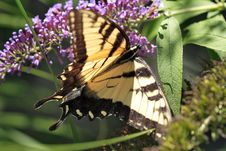 Free Swallowtail Butterfly Stock Photo - 1156270