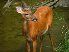 Free Whitetail Unaware Royalty Free Stock Photos - 1156498