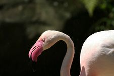 Free Greater Flamingo Head Stock Images - 1157334