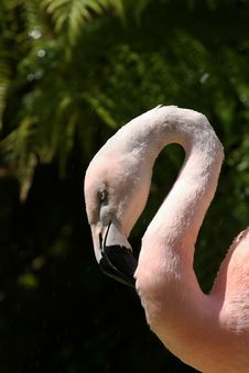 Free Flamingo Cleaning It S Neck Royalty Free Stock Photography - 1157457
