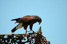 Harris S Hawk On A Fence Royalty Free Stock Photo