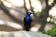 Free Blue-eared Glossy Starling Looking Left Royalty Free Stock Photography - 1158067