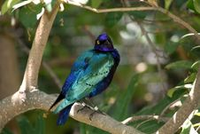 Free Blue Eared Glossy Starling Looking Over It S Shoulder Stock Photo - 1158090