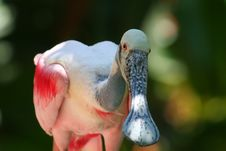Free Roseate Spoonbill, Close Up Royalty Free Stock Photography - 1158247