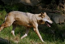 Free Wolf Stock Photography - 1158342