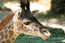 Free Giraffe Head Stock Images - 1158354