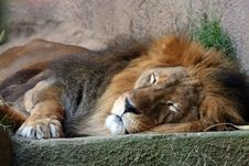 Free Lion Sleping Royalty Free Stock Photo - 1158475