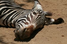 Free Zebra Head Resting Stock Images - 1158734