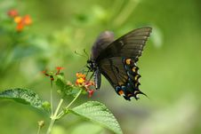 Free Swallowtail Butterfly Stock Photography - 1159352