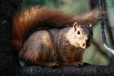 Free Squirrel In Pine Tree Royalty Free Stock Photo - 1159975