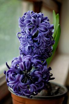Free Selective Focus Photography Of Purple Hyacinth Flower Stock Image - 115012841