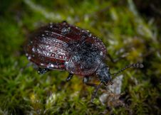 Free Closeup Photo Of Brown And Black Beetle On Green Grass Stock Image - 115012861