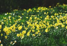 Free Bed Of Yellow Petaled Flowers Stock Photography - 115012882