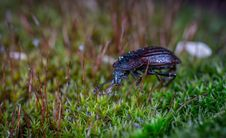 Free Black Ground Beetle On Green Grass In Closeup Photography Royalty Free Stock Photography - 115012887