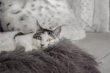 Free White And Black Cat Lying On Bed Royalty Free Stock Image - 115012996