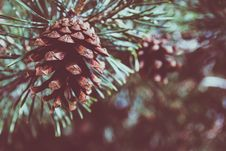 Free Shallow Focus Photography Of Pine Cone Stock Photos - 115013003