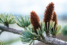 Free Close-up Photography Of Conifer Cones Stock Photography - 115013012