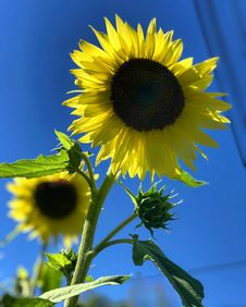 Free Selective Focus Photography Of Sunflower Royalty Free Stock Photos - 115013028