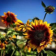 Free Close-Up Photography Of Sunflower Royalty Free Stock Photography - 115013037