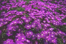 Free Photo Of Purple Daisies Royalty Free Stock Photo - 115013055