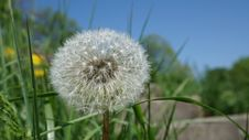 Free Focused Photo Of Dandelion Royalty Free Stock Photography - 115013057