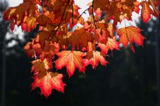 Free Fall Maple Leafs Stock Photography - 11511212