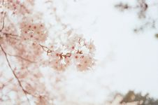 Free Selective Focus Photography Of Cherry Blossoms Royalty Free Stock Images - 115110969