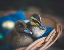 Free Close-Up Photography Of Ducks Royalty Free Stock Photography - 115110997