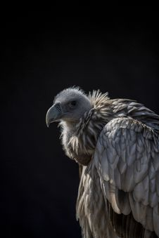 Free Closeup Photo Of Vulture Royalty Free Stock Photos - 115111128