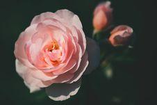 Free Pink Rose Closeup Photography Stock Photos - 115203043