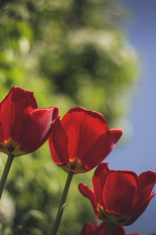 Free Selective Focus Photo Of Three Red Rose Flowers Royalty Free Stock Images - 115203199