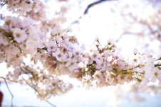Free Closeup Photo Of Apple Blossom Flowers Stock Images - 115203244