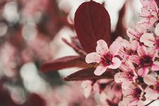 Free Photo Of Pink Cherry Blossoms Royalty Free Stock Photos - 115269118
