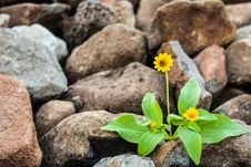 Free Two Yellow Flowers Surrounded By Rocks Royalty Free Stock Photo - 115269135