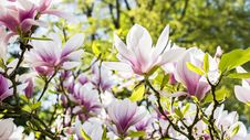 Free White And Pink Flowers Royalty Free Stock Photography - 115269137