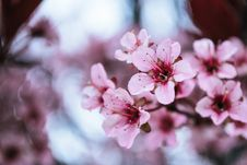Free Photo Of Pink Cherry Blossoms Royalty Free Stock Photography - 115269197