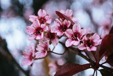 Free Close-up Photography Of Cherry Blossoms Stock Photo - 115269200