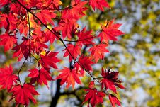 Free Maple Leaf, Red, Autumn, Leaf Stock Photography - 115286422