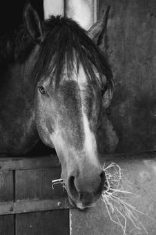 Free Horse, Black, Black And White, Mane Stock Photos - 115286463