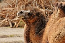 Free Camel, Camel Like Mammal, Terrestrial Animal, Fauna Royalty Free Stock Photography - 115286497