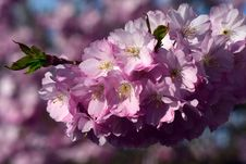 Free Flower, Pink, Blossom, Cherry Blossom Stock Photography - 115286562