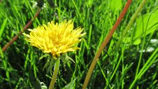 Free Grass, Dandelion, Flower, Golden Samphire Stock Photo - 115286600
