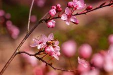 Free Blossom, Branch, Pink, Cherry Blossom Stock Photo - 115286680