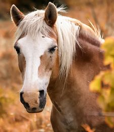 Free Horse, Mane, Horse Like Mammal, Mustang Horse Stock Image - 115286681