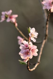 Free Blossom, Pink, Branch, Cherry Blossom Stock Photos - 115286833