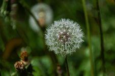 Free Flower, Flora, Dandelion, Plant Royalty Free Stock Photo - 115287335