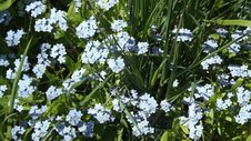 Free Plant, Flower, Forget Me Not, Flora Stock Photography - 115287362